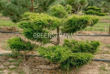Можжевельник средний Олд Голд 'Juniperus media Old Gold'