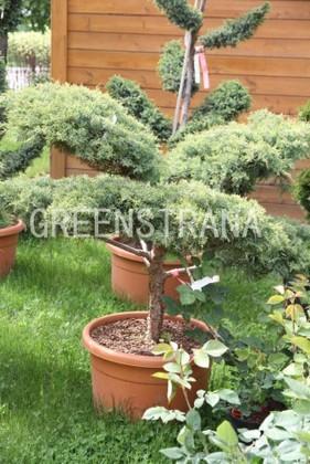 Можжевельник средний Хетци 'Juniperus media Hetzii'