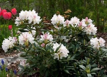 Рододендрон гибридный White'