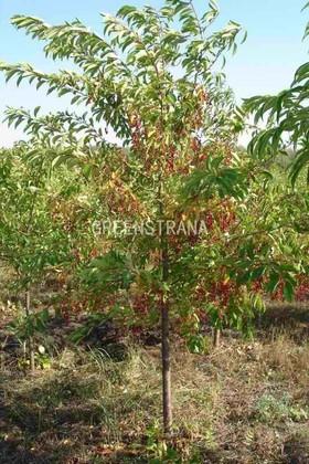 """Черемуха виргинская """"Prunus virginiana"""""""