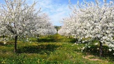 "Яблоня ягодная ""Malus Baccata"""