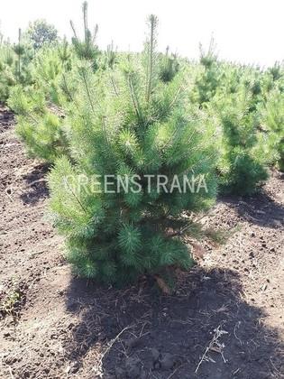 Сосна обыкновенная  Extra «Pinus sylvestris»
