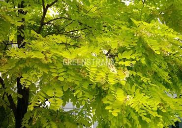 Акация золотистая (Robinia pseudoacacia 'Frisia')