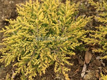 Можжевельник обыкновенный Голдшатц (Juniperus communis Goldschatz)