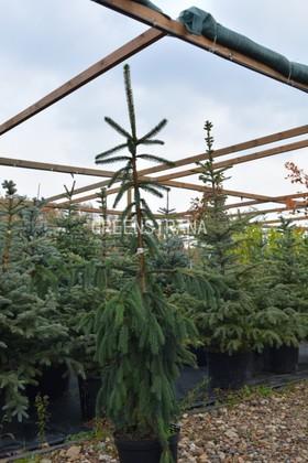 Ель обыкновенная Пендула Мейджер (Picea abies Pendula Major)