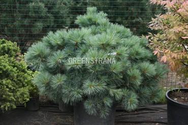 Сосна веймутова Радиата 'Pinus strobus Radiata'