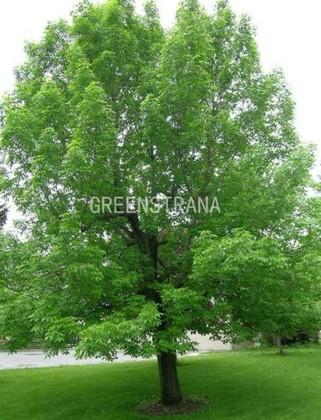 Ясень зеленый