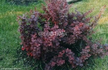 Барбарис обыкновенный ф. пурпурная
