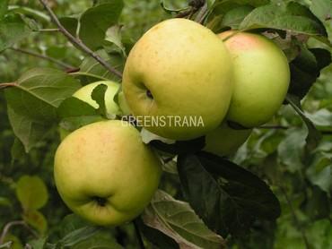 Яблоня Антоновка 600