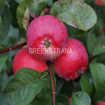 Яблоня Брусничное