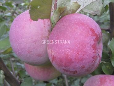 Яблоня Брянское розовое