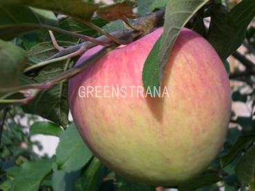 Яблоня Коричное Новое