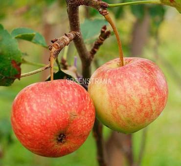 Яблоня Красавица сада
