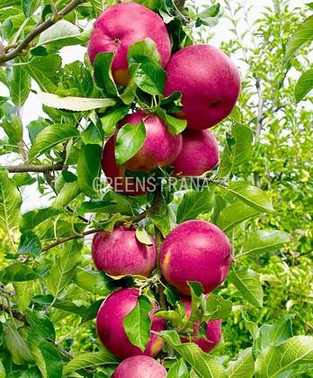 Яблоня колонновидная Джин