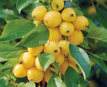 Яблоня колонновидное Китайка золотая