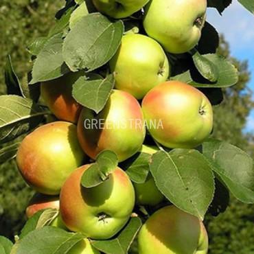 Яблоня колонновидное Янтарное ожерелье