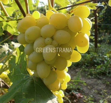 "Виноград плодовый ""Аркадия"""