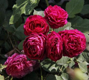 """Роза шраб """"Bicentenaire de Guillot"""""""