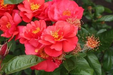 "Роза шраб ""So Pretty"""