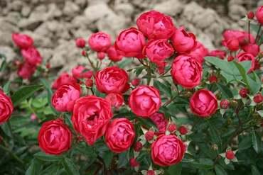 """Роза миниатюрная """"Pink"""""""