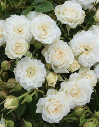 "Роза миниатюрная ""White"""