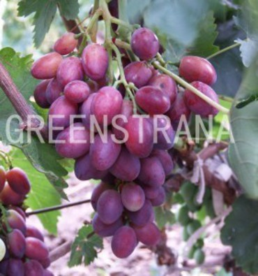 "Виноград ""Graf Monte Cristo"""