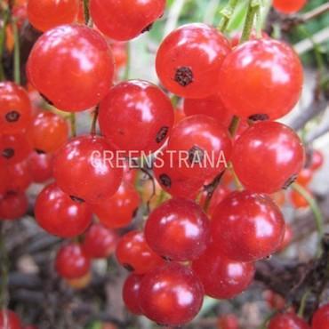 Смородина красная Лучезарная