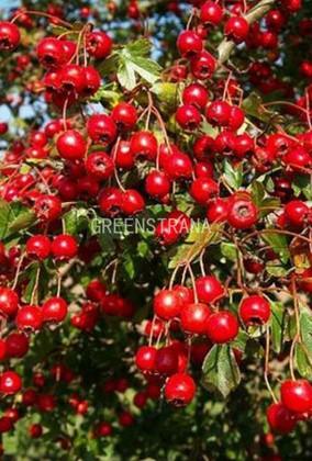 Боярышник кроваво-красный 'Crataegus sanguinea'