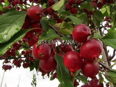Декоративная яблоня Ред Обелиск 'Red Obelisk'
