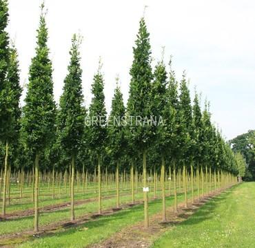 Дуб черешчатый Фастигиата 'Quercus robur Fastigiata'
